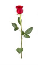 Obrázek Růže se stonkem